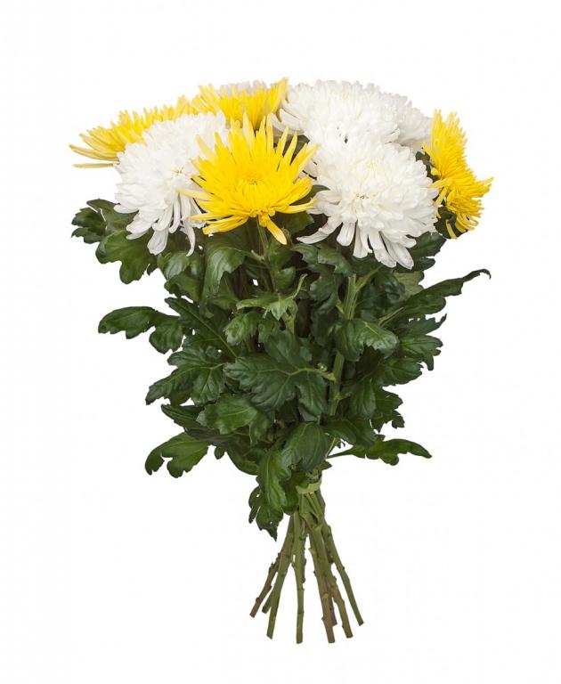 Букет из 11 белых и жёлтых крупных одноголовых хризантем