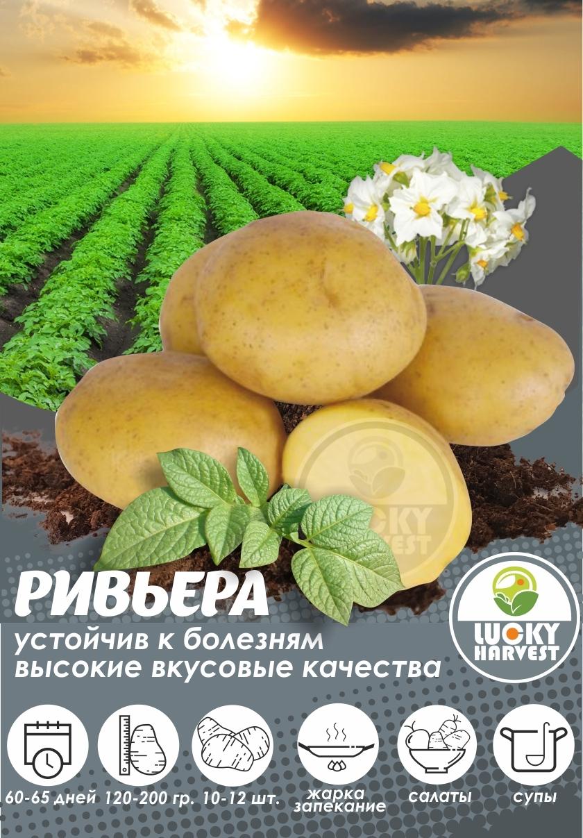 Семенной картофель РИВЬЕРА   ТМ LUCKY HARVEST