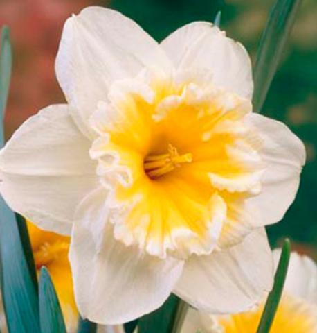 Нарцисс крупнокорончатый Слим Витмэн (5 штук)