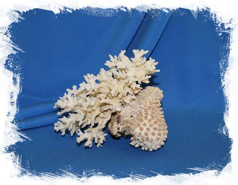 Коралл с выростом 16 см.