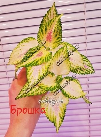 Брошка - Broochka колеус