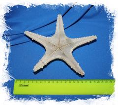 Сушеная морская звезда