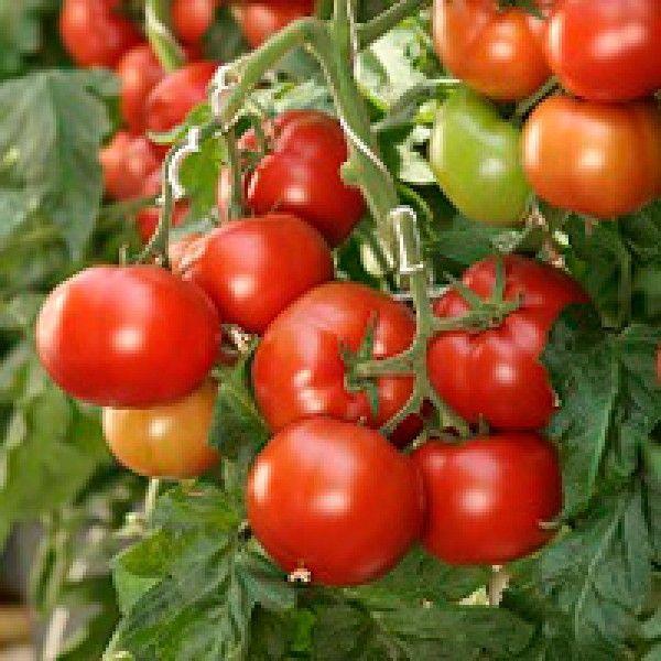 Томат Корвинус F1 семена томата полудетерминантного (Seminis / Семинис) Корвинус_семена_овощей_оптом.jpg