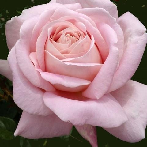 Роза чайно-гибридная Эмезинг Грейс (в тубе)