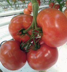Ордынка F1 семена томата индетерминантного (Гавриш)