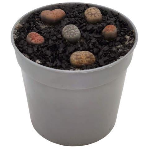 Суккулент Литопс коричневый/серый