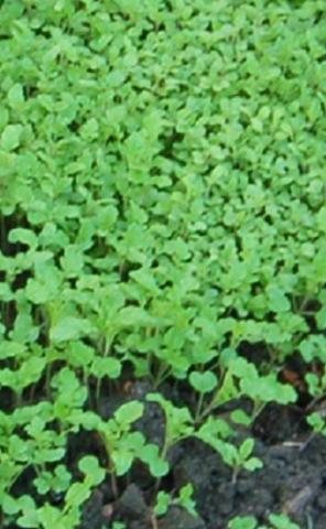 Семена Горчица белая, сидерат