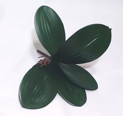 Листья орхидей с корешками, 26 см.