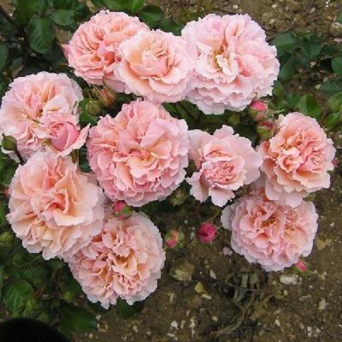 Твигги'с Роуз(Twiggy's Rose)