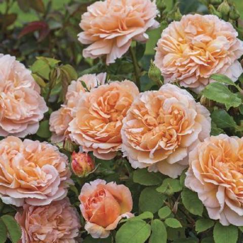 Зе Леди Гарднер(The Lady Gardener)