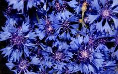 Василек цветы