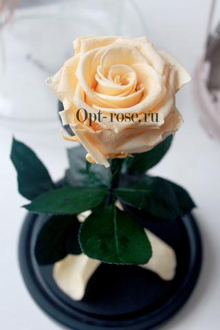 Роза в колбе Premium Оптом(Выс*Диам*Бутон 27*15*7-8см)Цвет кремовая(шампань)