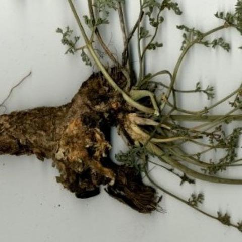Вздутоплодник сибирский, корень