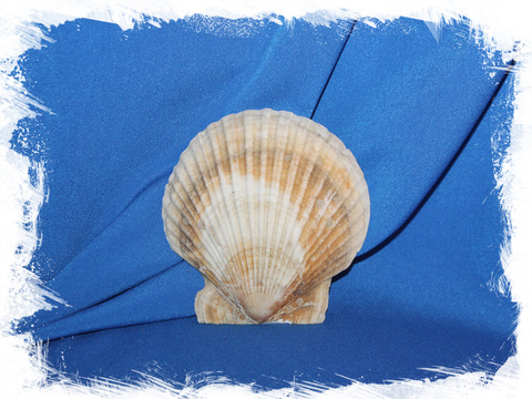 Дальневосточный Морской Гребешок (выпуклая створка)