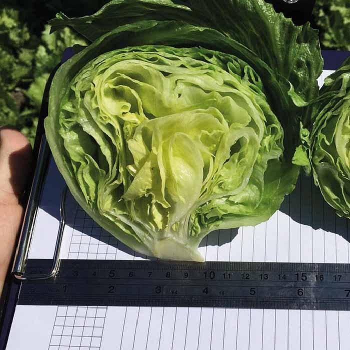 Nunhems Темплин семена салата айсберг (Nunhems / Нюнемс) темплин_.jpg