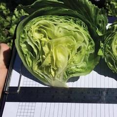 Темплин семена салата айсберг (Nunhems / Нюнемс)