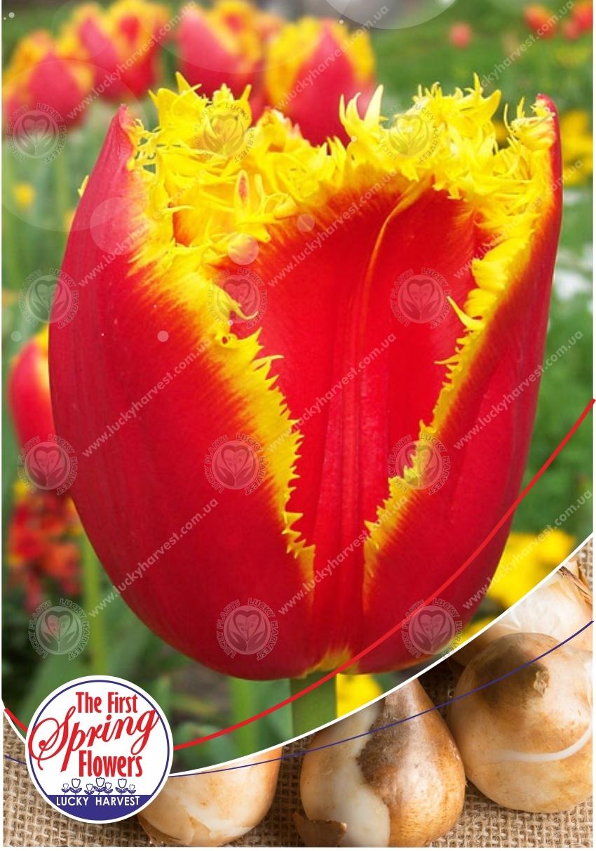 Луковицы Бахромчатого  Тюльпана