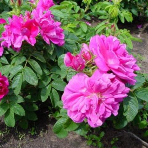 Шиповник (роза ругоза) морщинистый Рубра C3 40-60