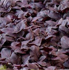 Жиголо семена базилика (Гавриш)