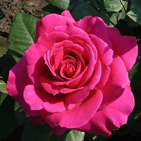Роза чайно-гибридная Шакира (в тубе)