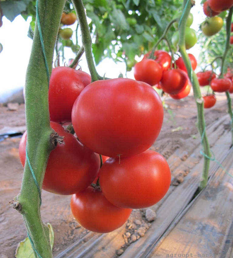 Nunhems Диаграмма F1 семена томата индетерминантного (Nunhems / Нюнемс) диаграмма.jpg