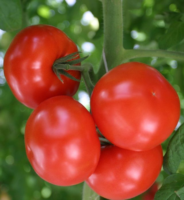 Гавриш Остоженка F1 семена томата индетерминантного (Гавриш) Остоженка_семена_овощей_оптом.jpeg