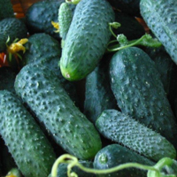 Огурец Мадита F1 семена огурца партенокарпического (Seminis / Семинис) Мадита_семена_овощей_оптом.jpg