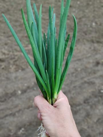 Зеленый лук (Никола-Ленивец), 150 г