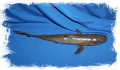 Акула декоративная сушеная