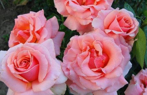 Роза крупноцветковая Куин Элизабет (в тубе)