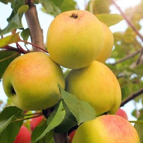 Яблоня осенний сорт ВЭМ желтый