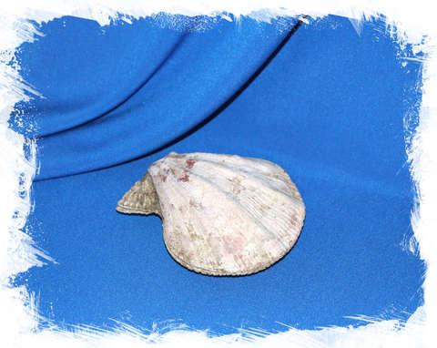 Гребешок Свифта (Swiftopecten swiftii) 10 см.