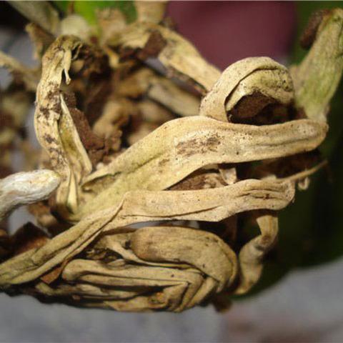 Гнилой корень (Хохлатка)