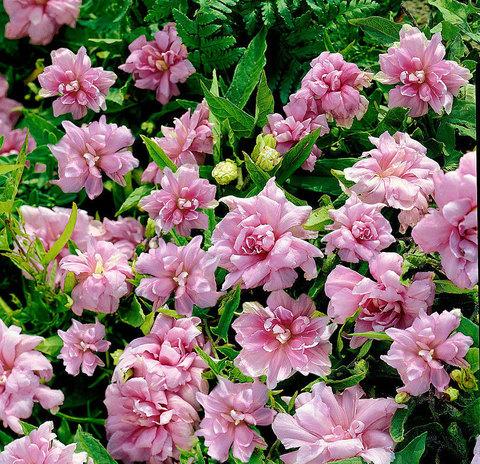 Калистегия Флора Плено (лиана махровая неприхотливая), сибирская роза в горшке корневище