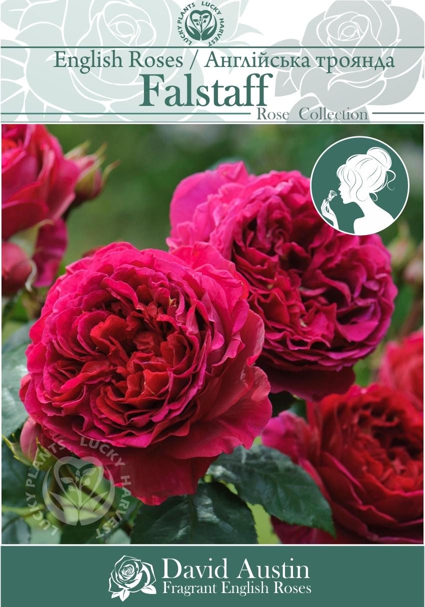 Троянда Англійська Густомахрова