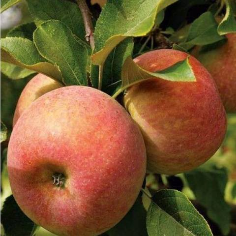 Яблоня (подвой семенной) Конфетное