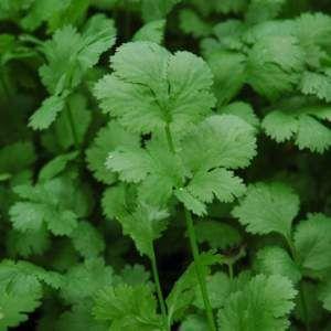 Кориандр Санто семена кориандра (Sakata / Саката) Санто_семена_овощей_оптом.jpg