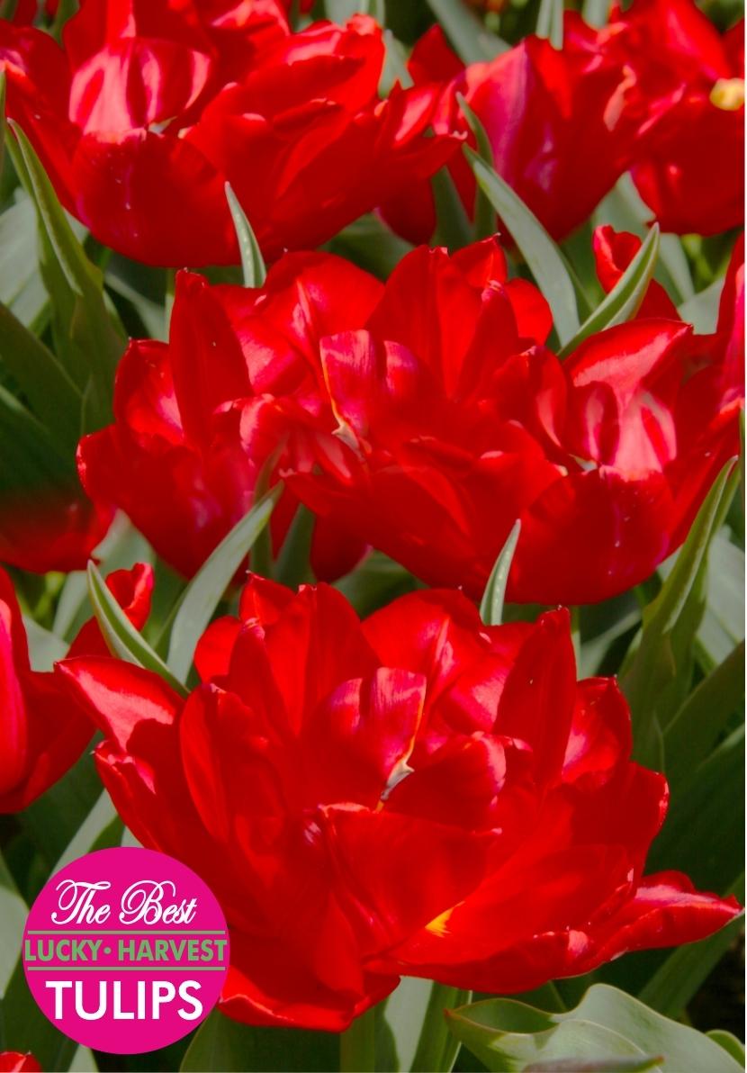Махровый ранний тюльпан Абба