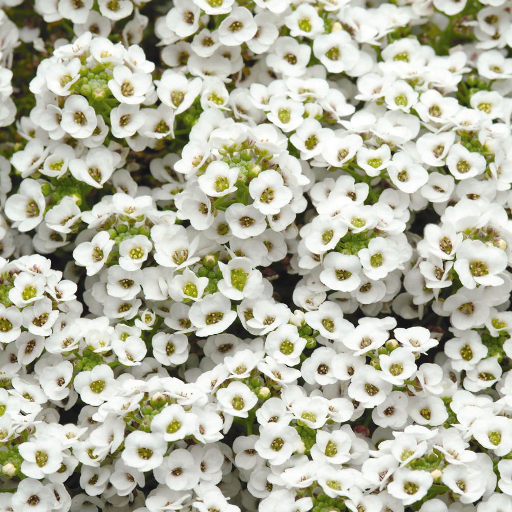 PanAmerican Seed Семена цветов Алиссум Эстер Боннет Вайт, PanAmerican Seed, 50 шт. Алиссум_Эстер_Боннет_Вайт.jpg