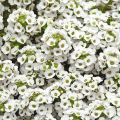 Семена цветов Алиссум Эстер Боннет Вайт, PanAmerican Seed, 50 шт.
