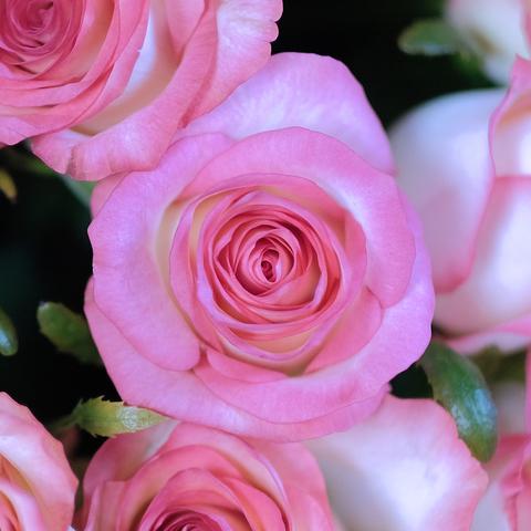 Розы двухцветные Jumilia от 9шт