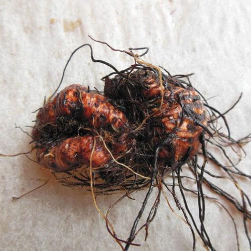 Травы Горец змеиный (Змеевик большой) bistorta-153.jpg
