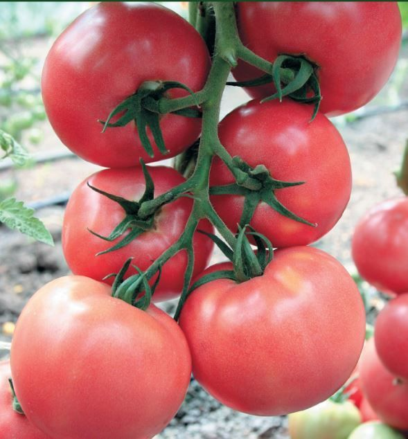 Гавриш Розарио F1 семена томата индетерминантного (Гавриш) Розарио_семена_овощей_оптом.JPG