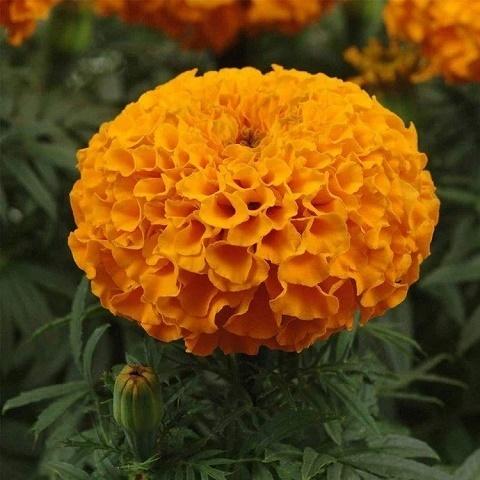 Бархатцы прямостоячие Discovery F1, orange