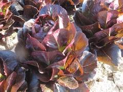 Батлстар семена салата ромэн (Enza Zaden / Энза Заден)