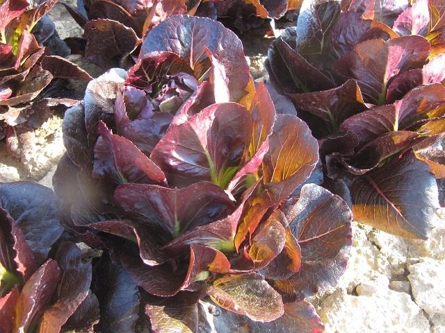 Каталог Батлстар семена салата ромэн (Enza Zaden / Энза Заден) p_2016279_battlestar.jpeg