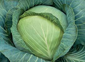 Белокочанная Текила F1 семена капусты белокочанной (Syngenta / Сингента) Текила_F1.jpg