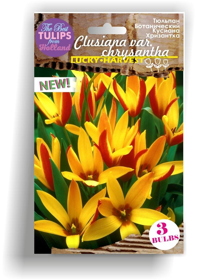Луковицы Тюльпана Ботанического Clusiana var. Chrysantha (Кусиана Хризантха) TM Jan de Wit en Zonen B.V. ( количество в упаковке 5 луковиц)