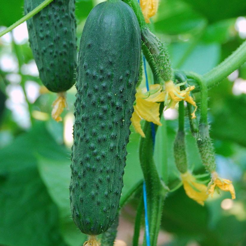 Огурец Седрик F1 семена огурца партенокарпического (Enza Zaden / Энза Заден) седрик2.JPG