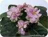 Фиалка, ЕК-Зеленые Хризантемы